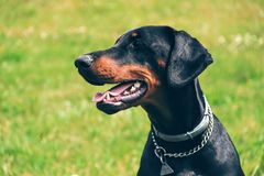 Doberman portrait of a head in background green grass. Dobrman is an intelligent, persevering, reliable and temperamental dog, energy-sparing. With proper Royalty Free Stock Photos