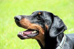 Doberman portrait of a head in background green grass. Dobrman is an intelligent, persevering, reliable and temperamental dog, energy-sparing. With proper Stock Photography