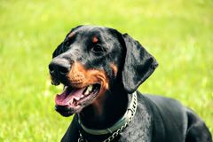 Doberman portrait of a head in background green grass. Dobrman is an intelligent, persevering, reliable and temperamental dog, energy-sparing. With proper Royalty Free Stock Photography