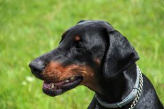 Doberman portrait of a head in background green grass. Dobrman is an intelligent, persevering, reliable and temperamental dog, energy-sparing. With proper Stock Images
