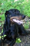 Doberman preto e marrom Imagem de Stock Royalty Free