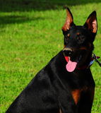 Doberman. Profile. With mouth open and tongue hanging out Stock Photos