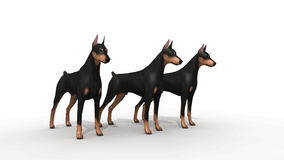 Doberman Protection. Three dogs doberman pincher guardians Royalty Free Stock Images