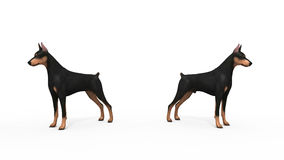 Doberman Protection. Two dogs doberman pincher guardians Royalty Free Stock Photography