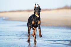Doberman psi bieg na plaży Obraz Stock