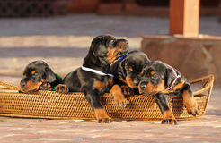 4 doberman puppies in basket Royalty Free Stock Images