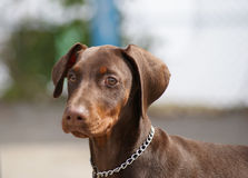 Doberman puppy Stock Image