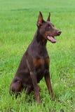 Doberman puppy Royalty Free Stock Image