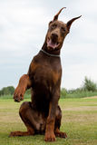 Doberman puppy Royalty Free Stock Photo