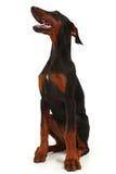 Doberman Puppy Stock Photos