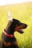 Doberman puppy stock photo