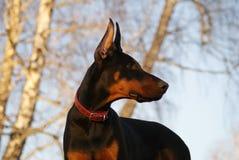 Doberman puppy Royalty Free Stock Photography