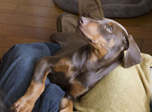 Doberman Puppy. Begging to be picked up Stock Photography