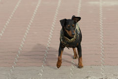 Doberman Puppy In Clothes Stock Image