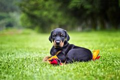 Doberman puppy in grass. Puppy lies on the green grass. He is black and brown and so cute royalty free stock photography