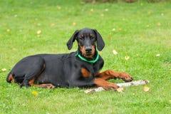 Doberman puppy on green Stock Photo