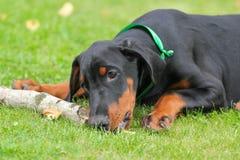 Doberman puppy on green Stock Photography