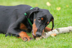 Doberman puppy on green Stock Images