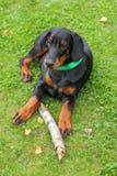 Doberman puppy on green Royalty Free Stock Image
