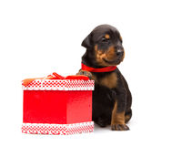 Doberman puppy near gift-box Royalty Free Stock Photography