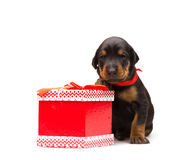 Doberman puppy near gift-box Royalty Free Stock Images