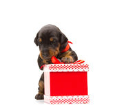 Doberman puppy near gift-box Stock Image