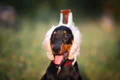 Doberman puppy Stock Image