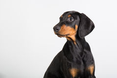 Doberman puppy Royalty Free Stock Image