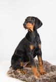 Doberman puppy Royalty Free Stock Photos