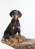 Doberman puppy Stock Images