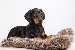 Doberman puppy Stock Photos