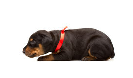 Doberman puppy in red ribbon Royalty Free Stock Image