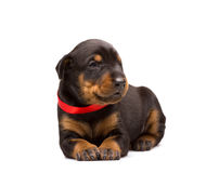 Doberman puppy in red ribbon Royalty Free Stock Photos