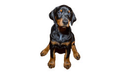 Doberman puppy Stock Photo