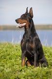 Doberman puppy Stock Photography