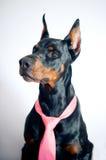 Doberman que desgasta el lazo rosado Fotografía de archivo libre de regalías