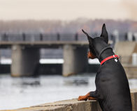 Doberman relaxes and looks over the river. From the bridge Royalty Free Stock Image