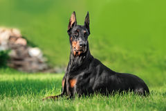 Doberman relaxing on grass Royalty Free Stock Image
