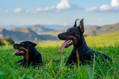Doberman and Rottweiler Stock Images