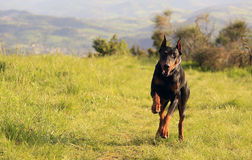 Doberman running Royalty Free Stock Image