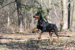 Free Doberman Running Stock Photography - 40905392