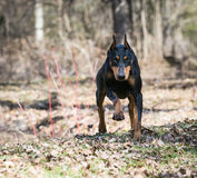 Doberman running Stock Images