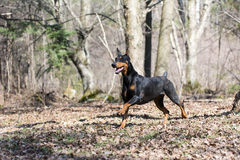 Doberman running Royalty Free Stock Photo