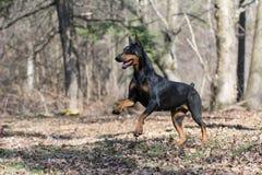 Doberman running. Doberman pinscher running in the woods stock photography