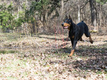 Doberman running Stock Photography
