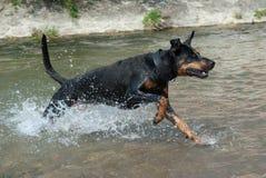 Doberman running through the water. A black doberman running through the water at a river Stock Photography
