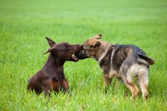 Doberman and shepherd puppys playing in the grass Royalty Free Stock Images
