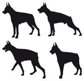 Doberman silhouette Stock Photo