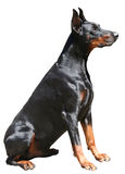 Doberman Sitting. Profile view of sitting Doberman Pincer Royalty Free Stock Photography