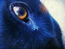 Doberman skin and eyes under the sun Stock Image